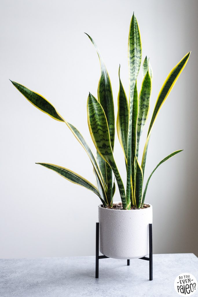 Snake plant potted in a white minimalist planter