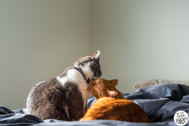 Two cats grooming each other on a blue bed
