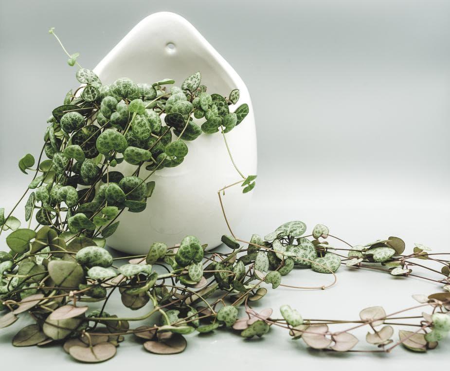 ivy plant cascading over a white ceramic pot