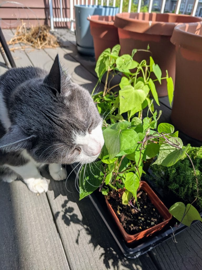 Cat licking plants on an apartment balcony
