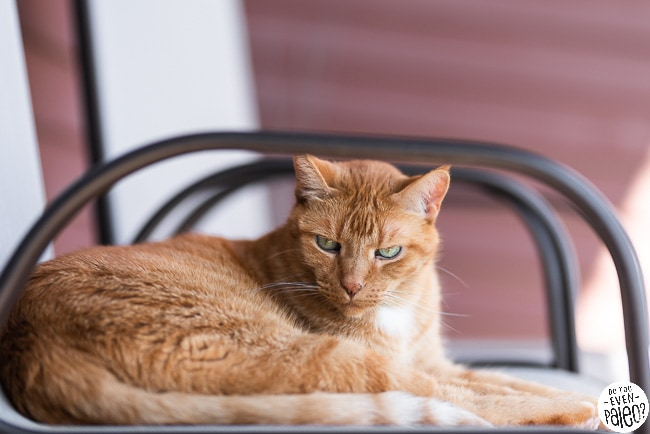 Orange cat on a lawn chair