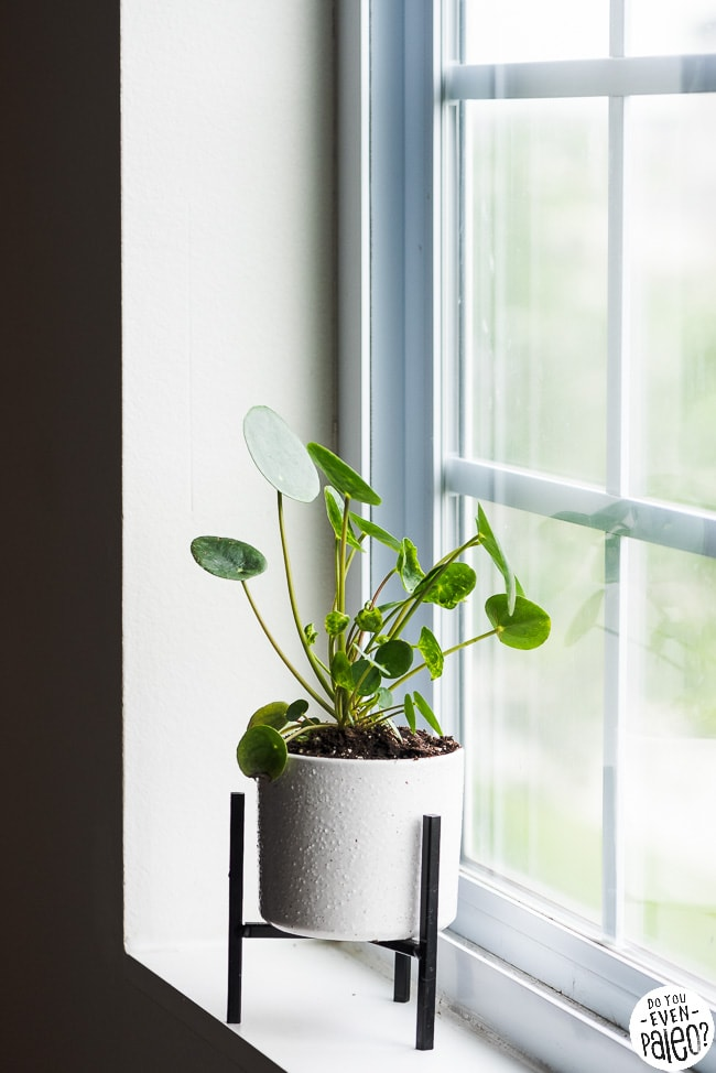 Potted pilea peperomioides plant on a windowsill