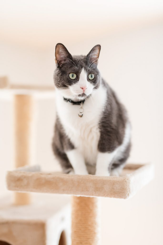 Grey and white cat on a cat tree