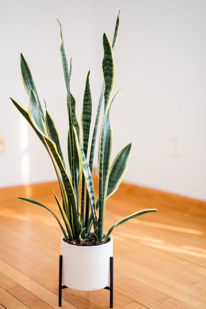 Large snake plant in a white planter